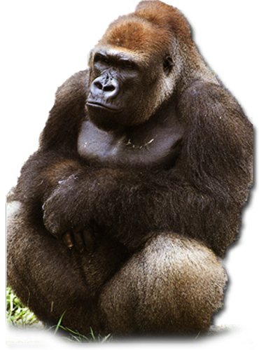 population issues report western lowland gorilla What's the deal with western lowland (yue wu/the washington post) said genetic diversity in the captive gorilla population is so crucial that.